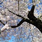 Postcards: Washington DC's Cherry Blossoms