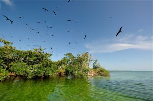 We stopped by Man-O-War Caye, a bird sanctuary just a few minutes away. It's mating season so there were hundreds of birds flying all over and above us. Pelicans, boobie birds and frigate birds.